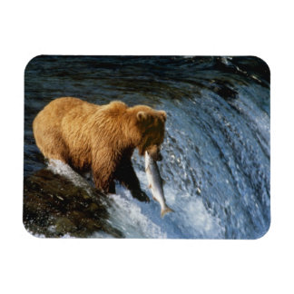 Alaskan Brown Bear Catching Salmon at Brooks Rectangular Photo Magnet