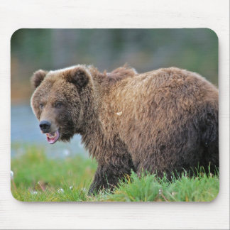 Alaskan Brown Bear with mouth open Mouse Pad