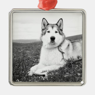 alaskan-malamute bw.png Silver-Colored square decoration