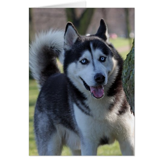 Alaskan Malamute dog blank greeting card