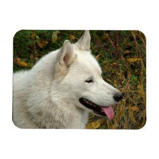 Alaskan Malamute Dog Photograph Magnet