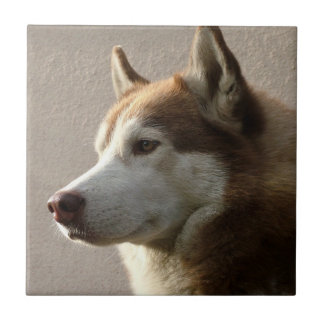 Alaskan Malamute Dog Photograph Small Square Tile