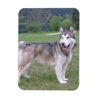 Alaskan Malamute Dog Premium Magnet