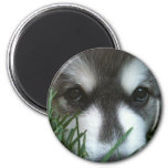 Alaskan Malamute Puppy Fridge Magnet