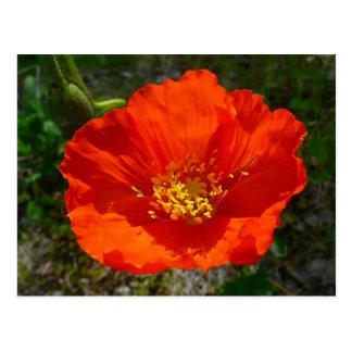 Alaskan Red Poppy Colorful Flower Postcard