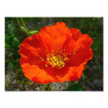 Alaskan Red Poppy Colourful Flower Photographic Print