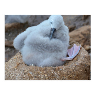 Albatross Chick Postcard