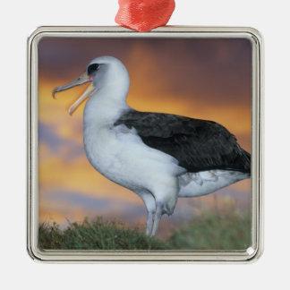 Albatross Laysan, (Diomedea immutabilis), USA, Christmas Ornament