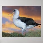 Albatross Laysan, (Diomedea immutabilis), USA, Poster