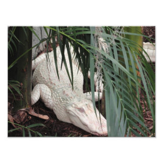 Albino Alligator Photo Print