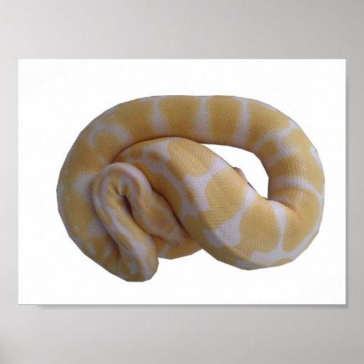 Albino Ball Python Poster