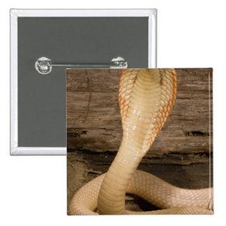 Albino Monacled Cobra, Naja kaouthia, coiled 15 Cm Square Badge