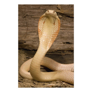 Albino Monacled Cobra, Naja kaouthia, coiled Photo Print