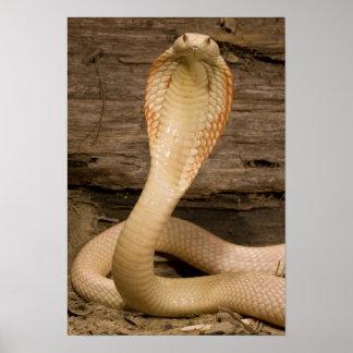 Albino Monacled Cobra, Naja kaouthia, coiled Poster