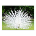 Albino-Peacock Postcards