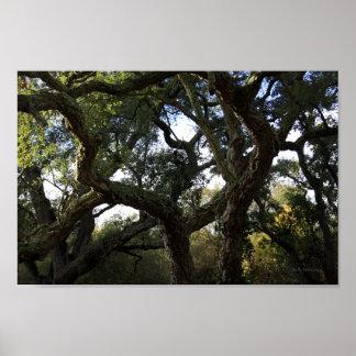 Alcornoque o árbol del corcho árbol elegante poster