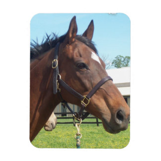 Alert Arabian Horse Magnet