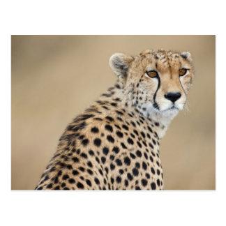 Alert Cheetah Acinonyx jubatus), Masai Mara Postcard