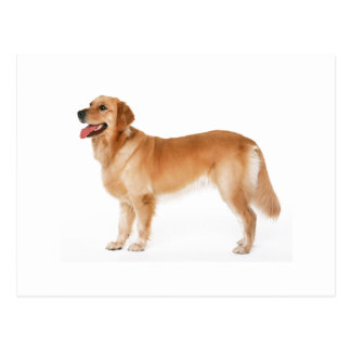 Alert Golden Retriever Postcard