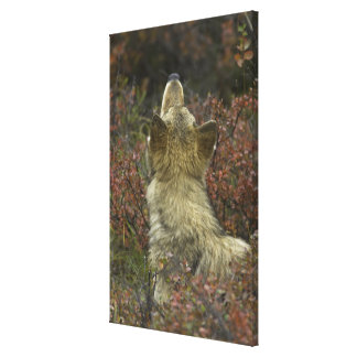 Alert young Grey wolf (Canis lupus) sniffing Canvas Print