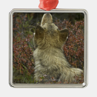 Alert young Grey wolf (Canis lupus) sniffing Christmas Ornament