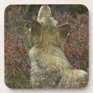Alert young Grey wolf (Canis lupus) sniffing Coasters