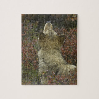 Alert young Grey wolf (Canis lupus) sniffing Jigsaw Puzzle