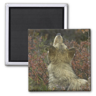Alert young Grey wolf (Canis lupus) sniffing Magnet