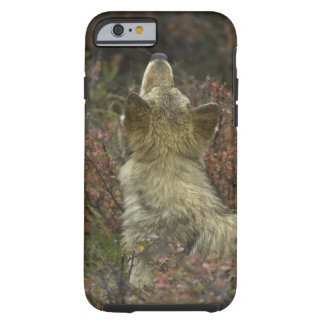 Alert young Grey wolf (Canis lupus) sniffing Tough iPhone 6 Case