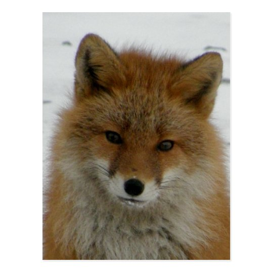 Aleutian Red Fox Postcard