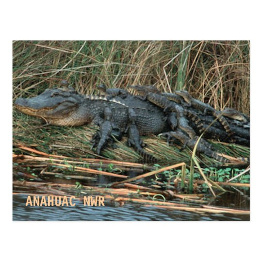 Aligator Mum Postcard