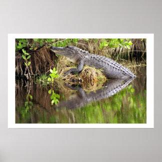 Alligator Posters