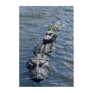 Alligators Resting in Shallow Water Acrylic Print