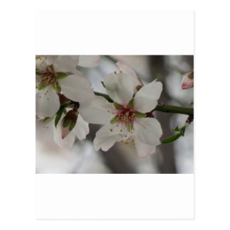 Almond Blossom in Sierra Espuna, Murcia, Spain Postcard
