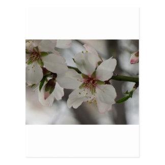 Almond Blossom in Sierra Espuna, Murcia, Spain Postcard