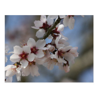 Almond Blossom Postcard