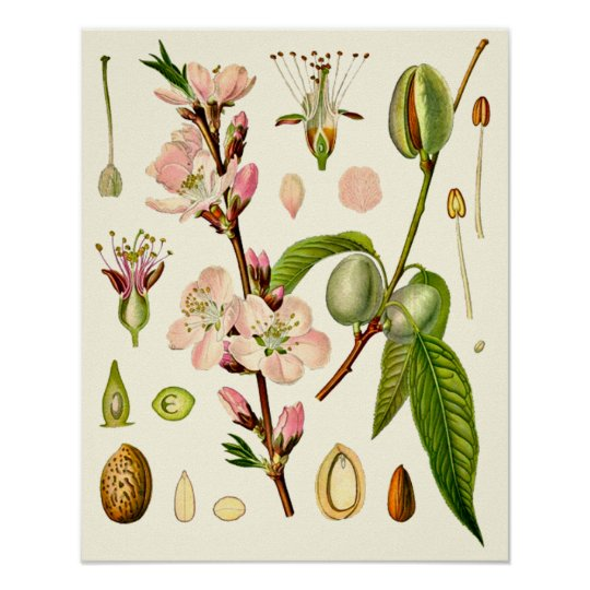 Almond Blossoms Botanical Poster
