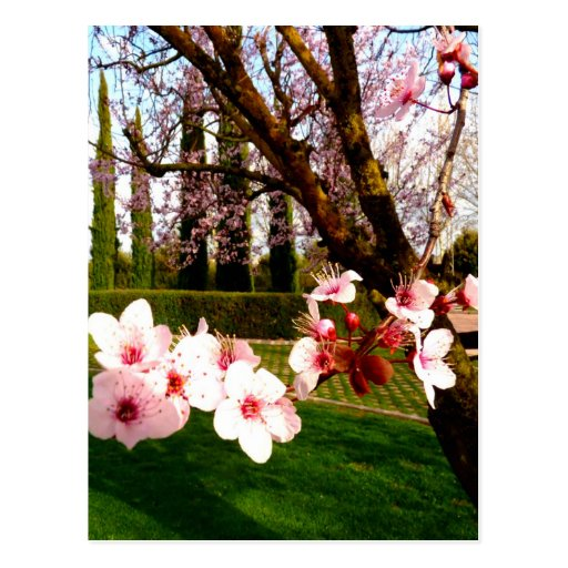 almond flower beauty and peace postcard