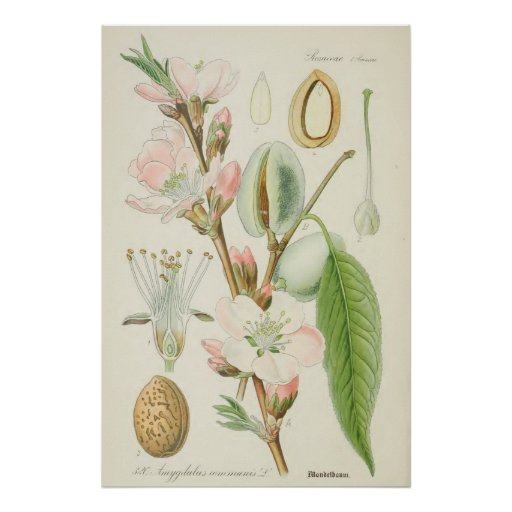 Almond Tree, Amygdalus communis, Poster