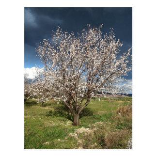 almond tree postcard