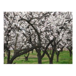 almond trees postcards