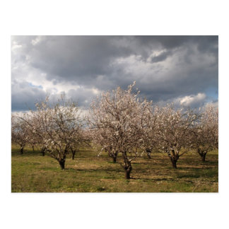 almond trees post card