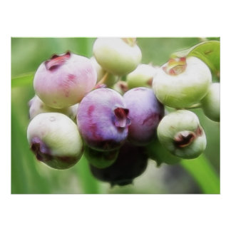 Almost Ripe - Blueberries Posters