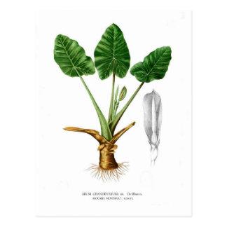 Alocasia montana postcard