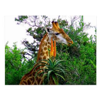 Aloe Giraffe Postcard