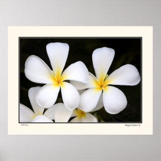 Aloha -Frangipani Blossoms - Hawaii Posters