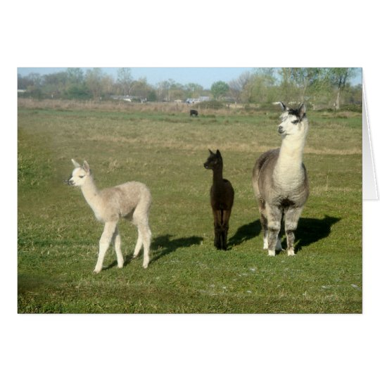 Alpaca and Two Cria Card