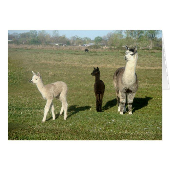 Alpaca and Two Cria Greeting Card