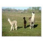 Alpaca and Two Cria Photo Print