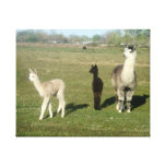 Alpaca and Two Cria Stretched Canvas Print